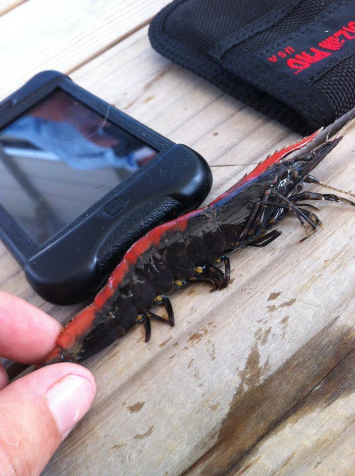Shrimp Species in Louisiana Mystery Shrimp Species Caught
