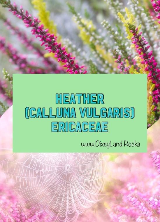 Heather Calluna Vugaris